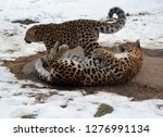 mother and cub amur leopard is... | Shutterstock . vector #1276991134
