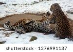 mother and cub amur leopard is... | Shutterstock . vector #1276991137