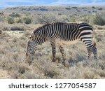 mountain zebras  south africa ... | Shutterstock . vector #1277054587