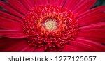 beautiful red gerbera is... | Shutterstock . vector #1277125057
