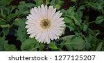beautiful white gerbera is... | Shutterstock . vector #1277125207