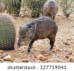Javelina Approaches A Fishhook...
