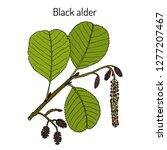 black or european alder  alnus... | Shutterstock .eps vector #1277207467