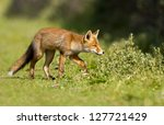 Red Fox Cub In Search Of