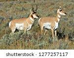 Pronghorn Antelope  Antilocapra ...