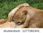 lion cub grasps the head of...   Shutterstock . vector #1277282341