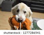 kind golden retriever | Shutterstock . vector #1277286541
