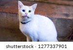 white turkish van cat or angora ... | Shutterstock . vector #1277337901