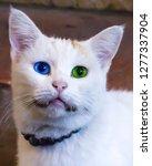 white turkish van cat or angora ... | Shutterstock . vector #1277337904