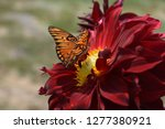 Monarch Butterfly On Red Dahlia