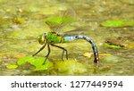 Stock photo emperor dragonfly uk 1277449594