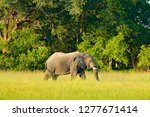 elephant in the grass. wildlife ... | Shutterstock . vector #1277671414