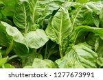Sliverbeet Grow In Vegetable...