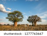camping at baine's baobabs in... | Shutterstock . vector #1277763667