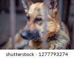 a big sad shepherd in an old... | Shutterstock . vector #1277793274