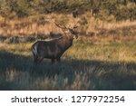 male red deer in la pampa ... | Shutterstock . vector #1277972254