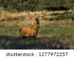 male red deer in la pampa ... | Shutterstock . vector #1277972257