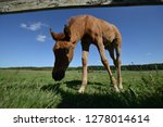 little young foal alone on the... | Shutterstock . vector #1278014614