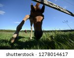 little young foal alone on the... | Shutterstock . vector #1278014617