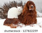 Red Irish Setter Dog And White...