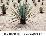 agave tequilana  commonly... | Shutterstock . vector #1278280657