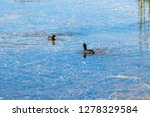 Two American Coots  Duck ...