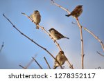 sparrows   small passerine birds   Shutterstock . vector #1278352117