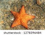 bvi  sea star. brightly colored ... | Shutterstock . vector #1278396484