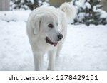 young tatra shepherd dog in... | Shutterstock . vector #1278429151