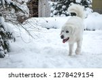 young tatra shepherd dog in... | Shutterstock . vector #1278429154