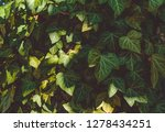 a wall of common ivy in shadow. ... | Shutterstock . vector #1278434251