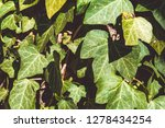 a wall of common ivy in... | Shutterstock . vector #1278434254