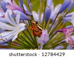 Painted Reed Frog On Agapathus