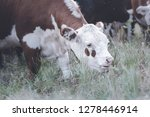 cows in countryside in  pampas... | Shutterstock . vector #1278446914