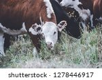 cows in countryside in  pampas... | Shutterstock . vector #1278446917