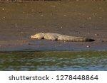 the mugger crocodile  also... | Shutterstock . vector #1278448864