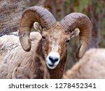 rocky mountain bighorn sheep ...
