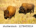 wood bison in northern b.c. the ... | Shutterstock . vector #1278455014
