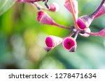 Detail Of Corymbia Tychocarpa...