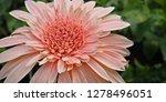 beautiful gerbera is blooming... | Shutterstock . vector #1278496051