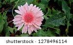 beautiful gerbera is blooming... | Shutterstock . vector #1278496114