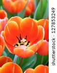 orange tulip colorful flower | Shutterstock . vector #127853249