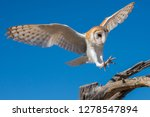 Barn Owl In Flight Preparing...