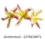 plumeria flower isolated on... | Shutterstock . vector #1278618871