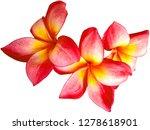 plumeria flower isolated on... | Shutterstock . vector #1278618901