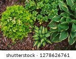 hosta magic island planted... | Shutterstock . vector #1278626761