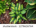 hosta magic island planted... | Shutterstock . vector #1278626764