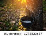 gardener tapping latex rubber... | Shutterstock . vector #1278823687
