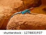 Collored Lizard On Rock