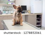 Stock photo dog at vet young female french bulldog sitting on examination table at veterinary practice clinic 1278852061